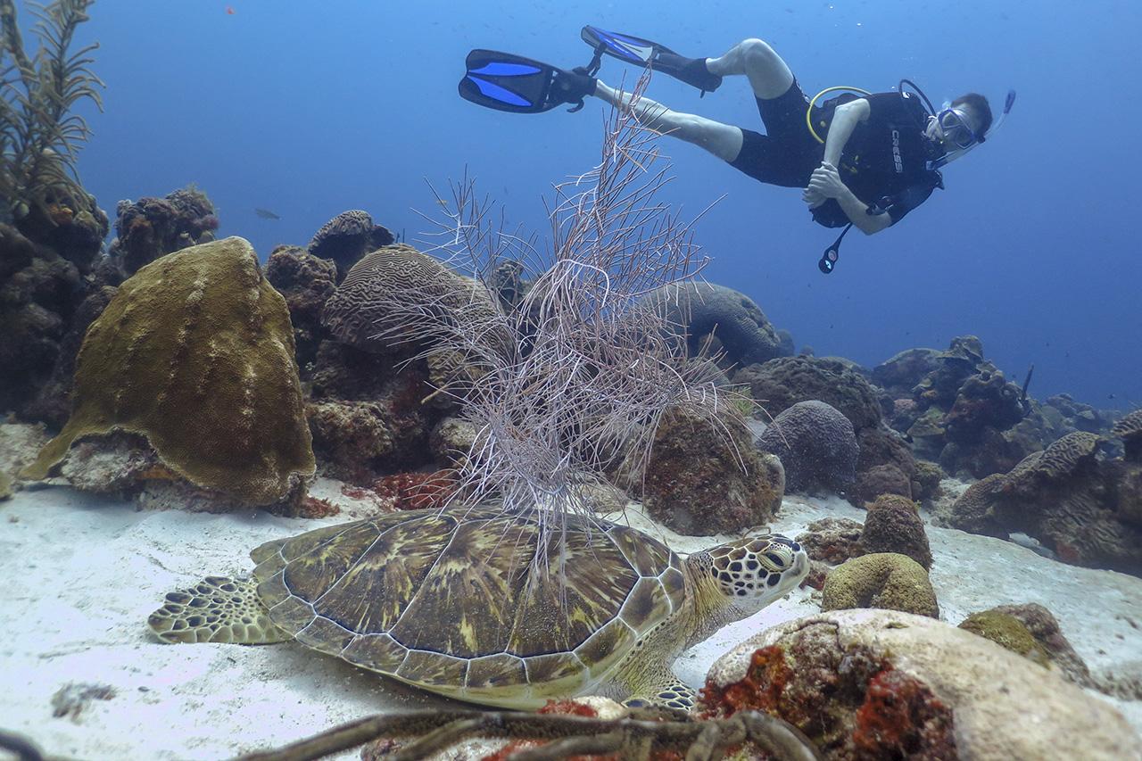 Sleepy turtle at Double Reef, Curacao