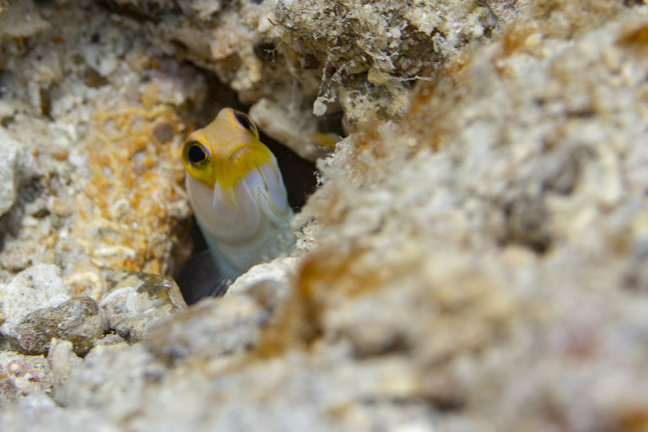 Yellow blenny hiding, Tug boat beach, Curacao