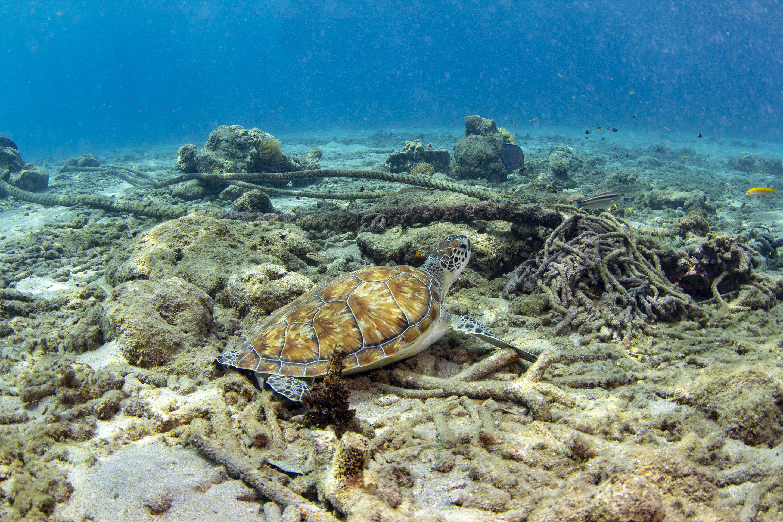 Turtle at Playa Grandi, Curacao