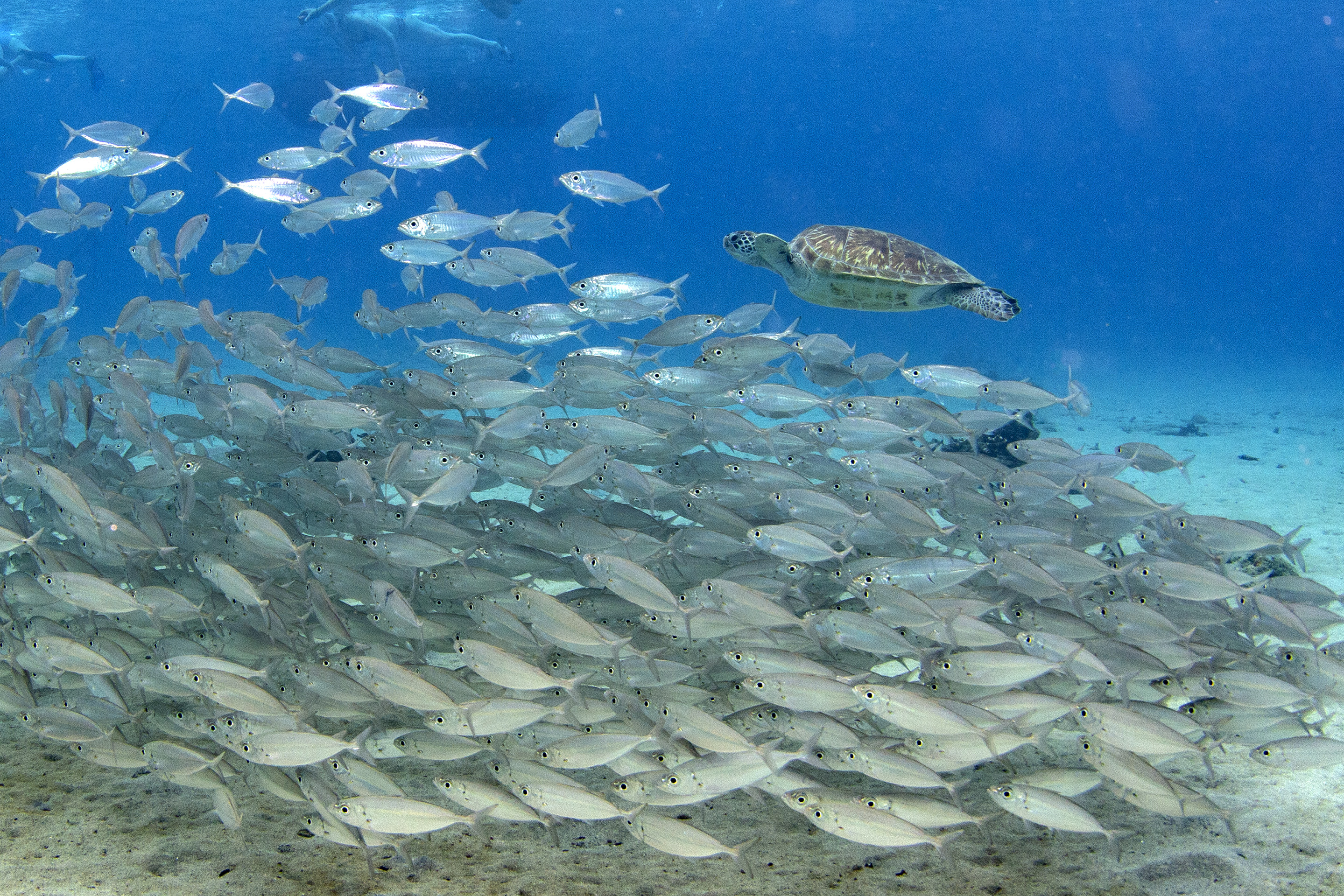 Turtle swimming with schools of fish in the shallows of Playa Grandi, Curacao